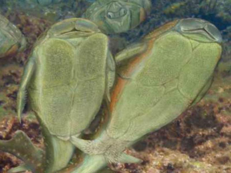 Peixe pré-histórico foi o primeiro a fazer sexo (Reprodução)