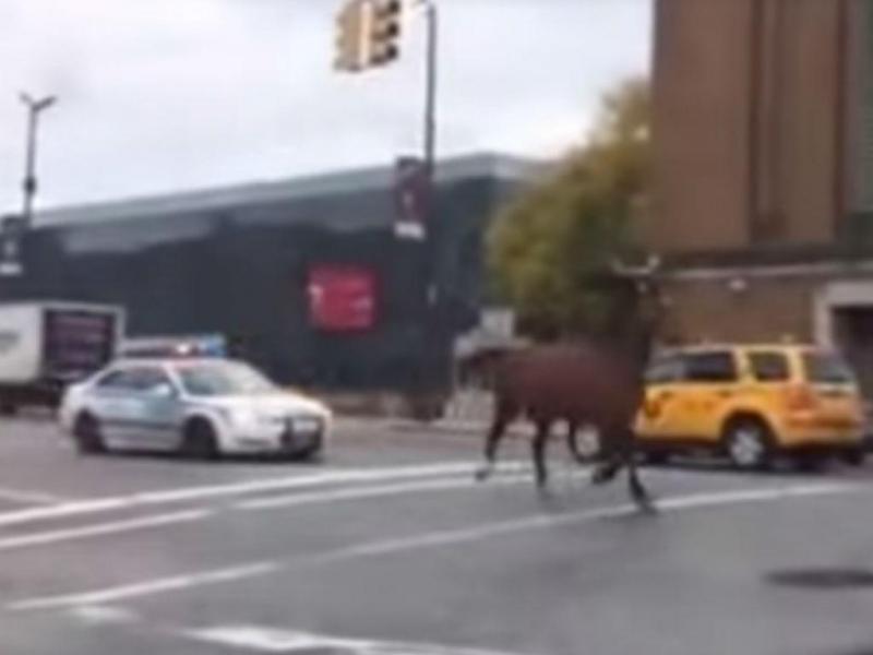 Polícia persegue cavalo nas ruas de Nova Iorque (YouTube)