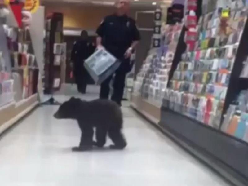 Urso passeia pelos corredores