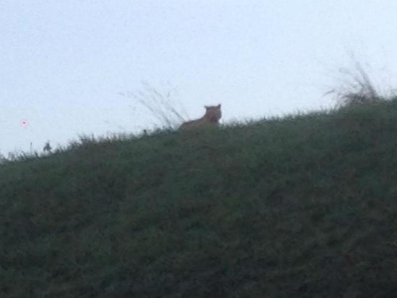 Um tigre à solta em Paris (Facebook)