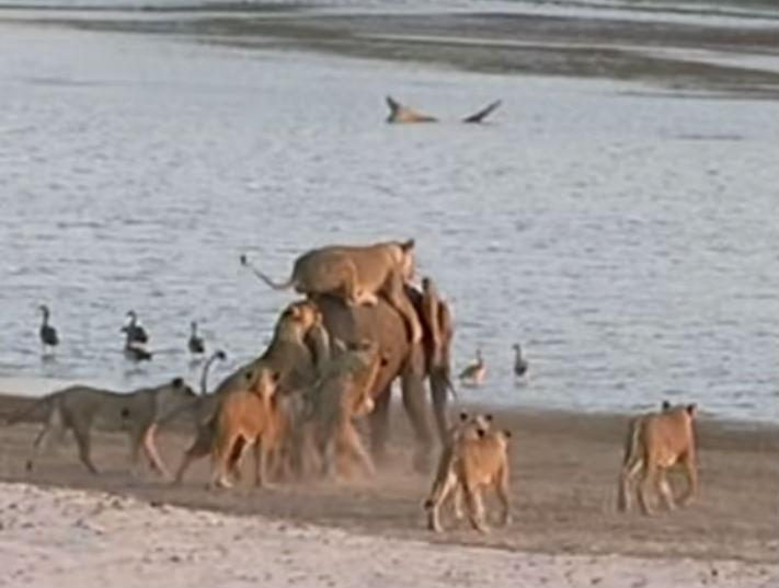 Elefante bebé atacado por leões