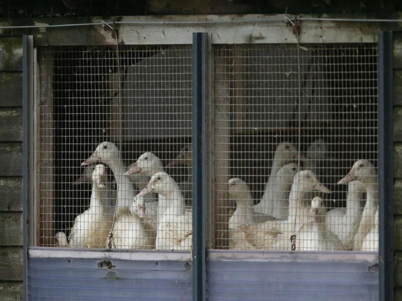 Contenção do vírus H5N1 em Inglaterra (REUTERS)