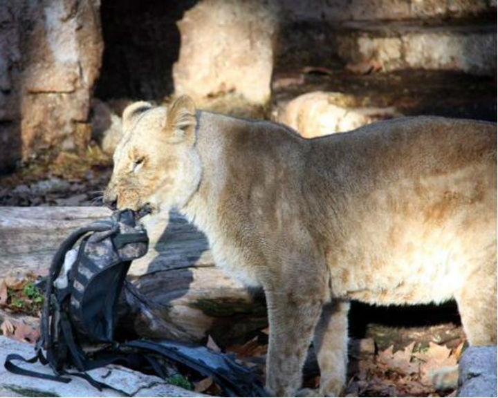 Barcelona: homem é atacado por leoa no Zoo [Reprodução Twitter]