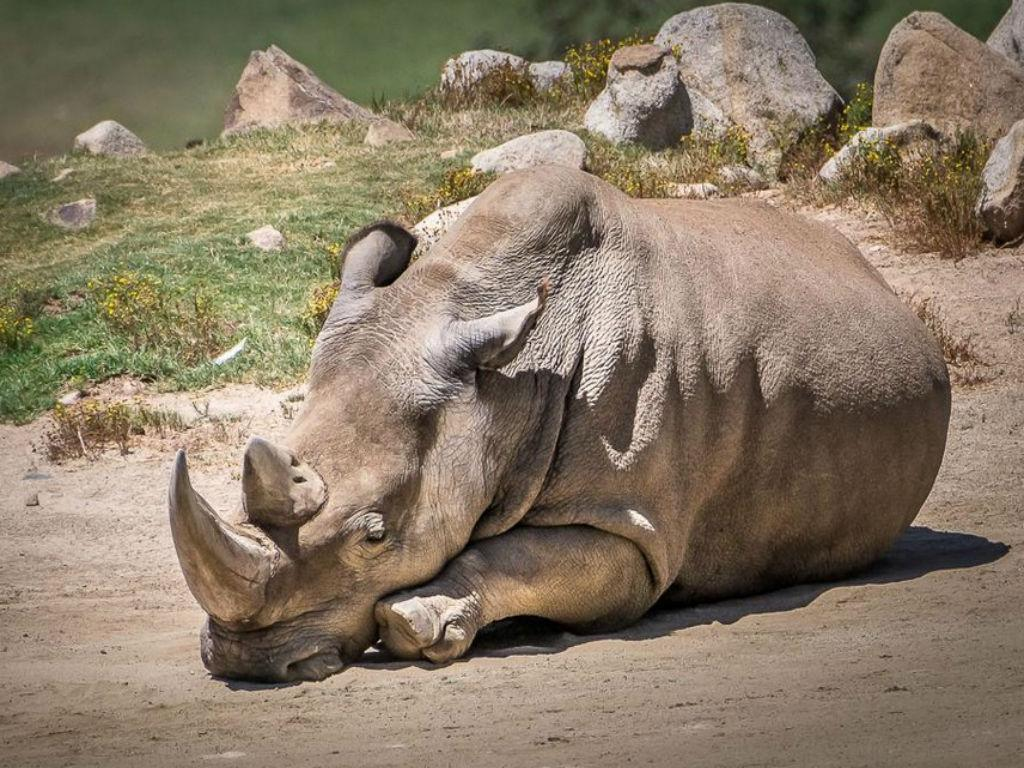 Angalifu, rinoceronte branco do norte (San Diego Zoo)