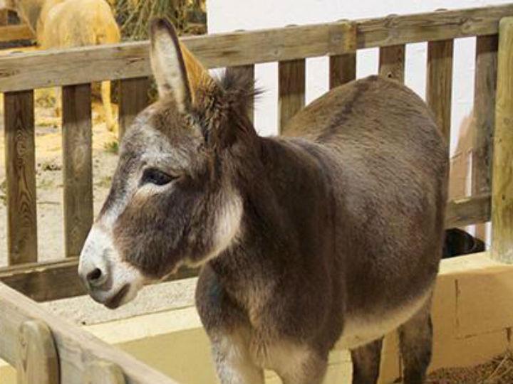 Polícia investiga morte de burro depois de obeso o montar