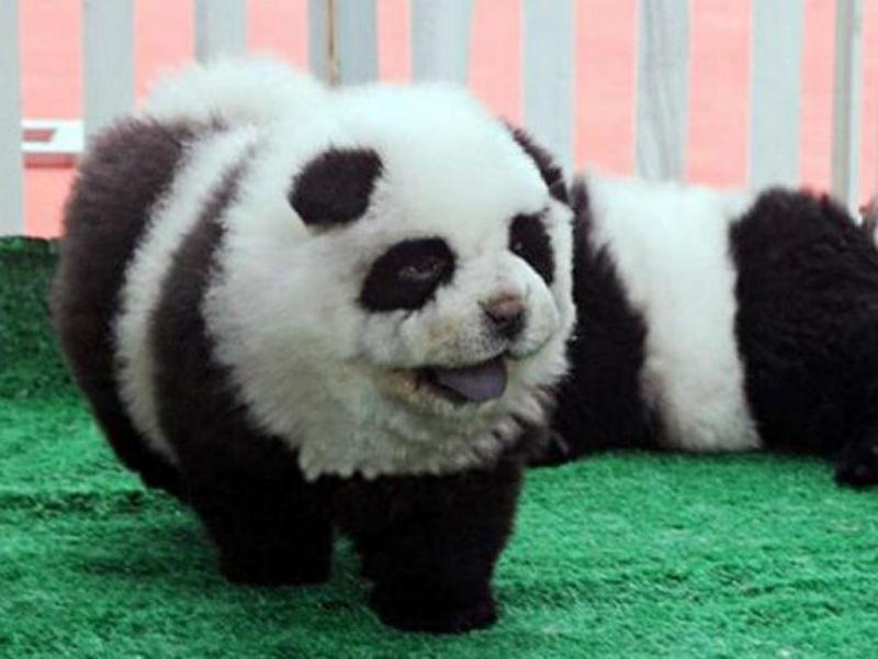 Cães eram apresentados como ursos panda