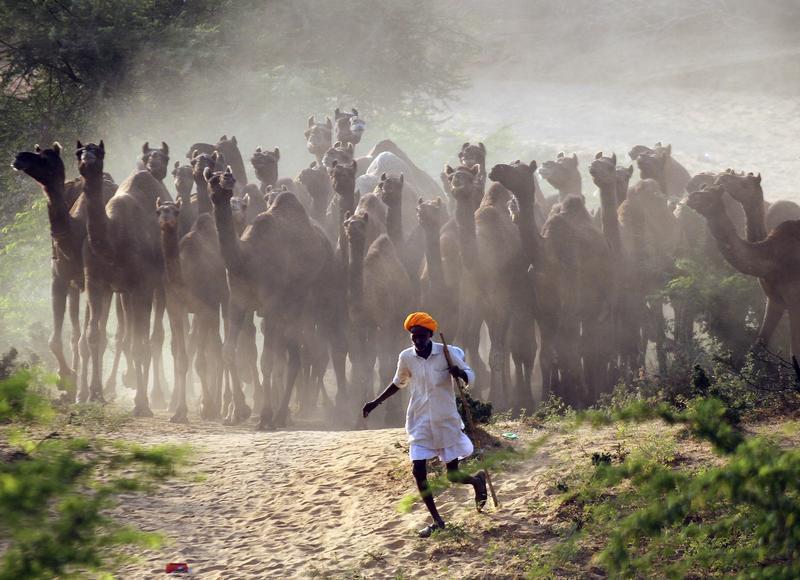 Pastor de camelos na Índia. REUTERS/Himanshu Sharma