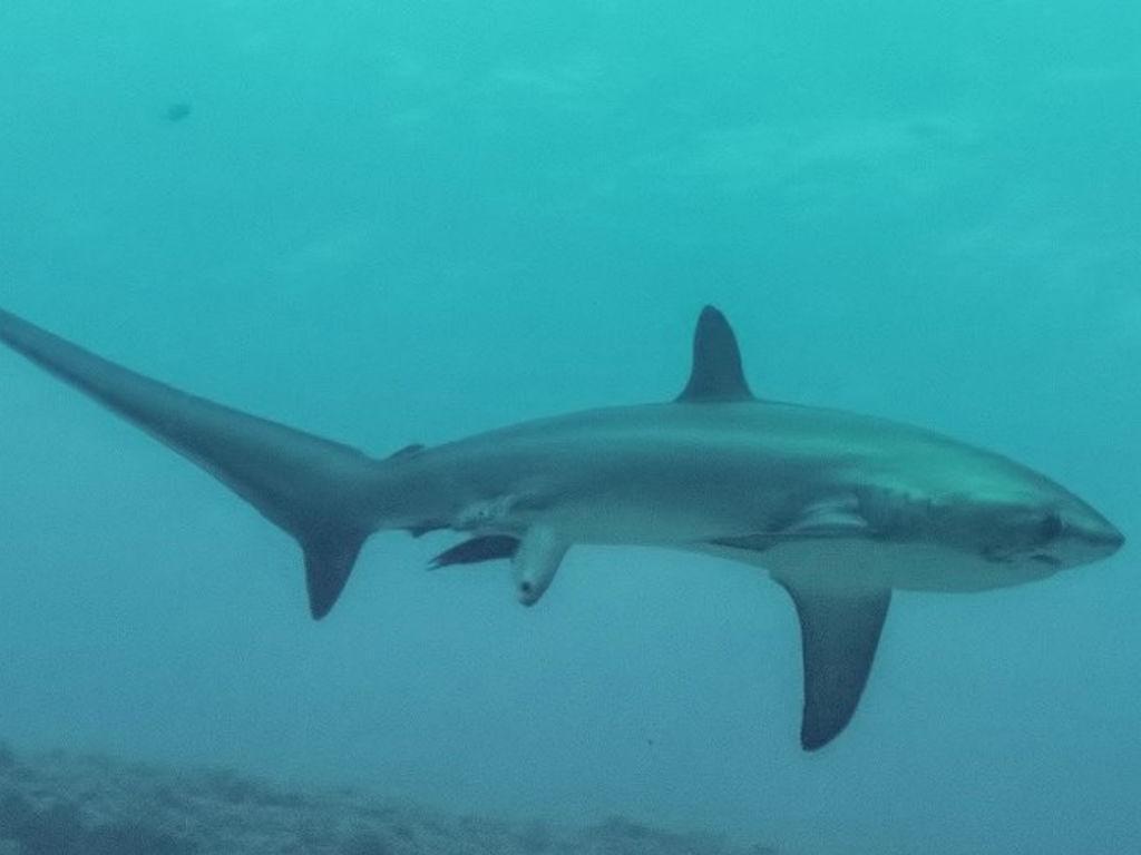 Máquina capta tubarão a dar à luz no oceano (Reprodução/ Twiiter)