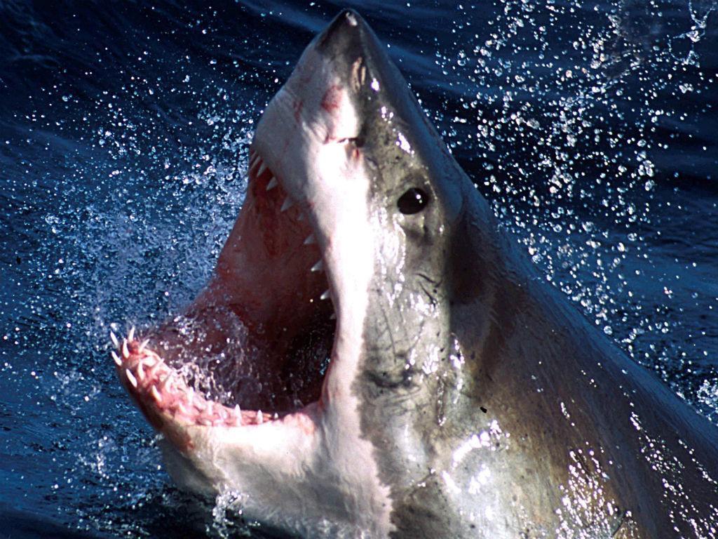 Tubarão-branco (REUTERS)