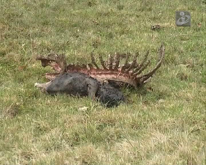 Burra morre em ataque de lobos