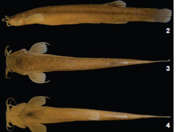 Descoberta nova espécie de peixe que vive em cavernas [Foto retirada do estudo]