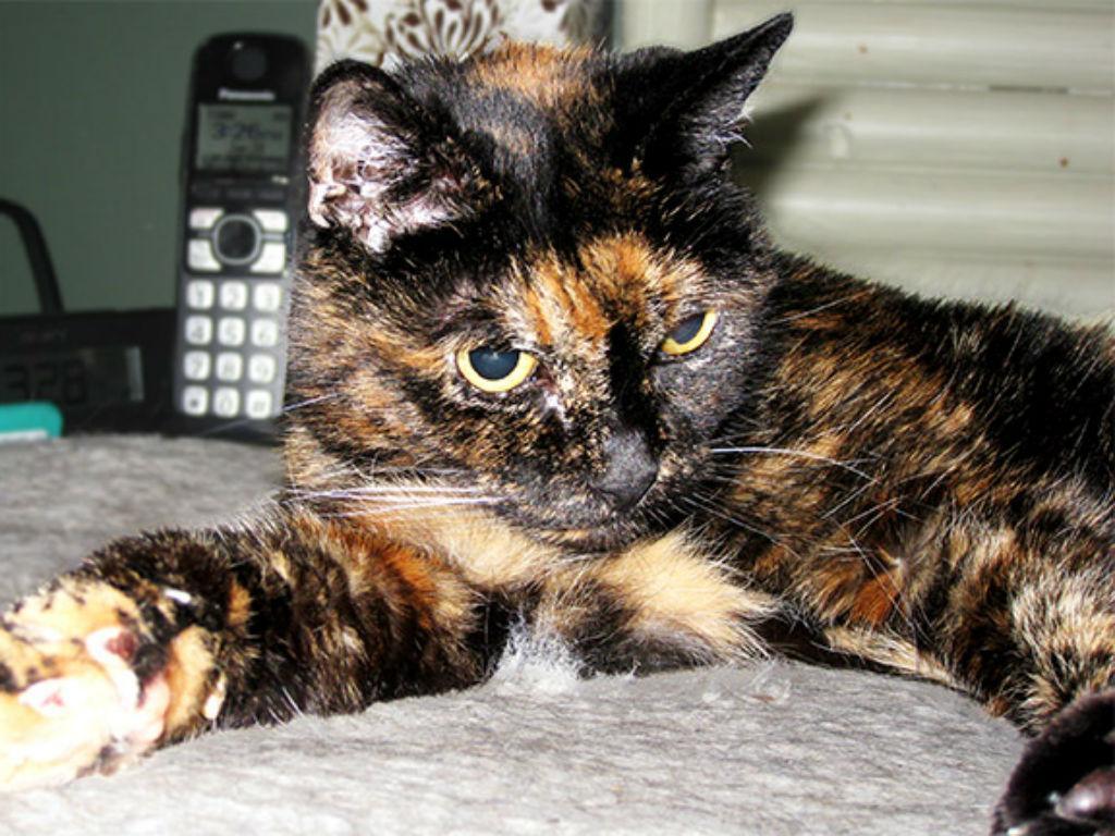 Tiffany Two é a gata mais velha do mundo (Reprodução Guinness World Records)