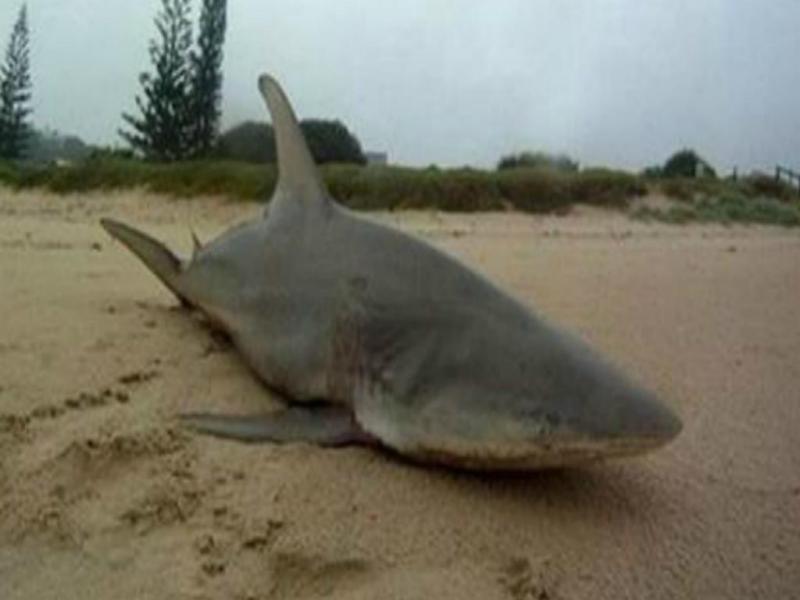 Tubarão na praia de Lennox Head