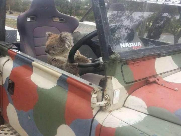Coala apanhado a tentar conduzir (Facebook)
