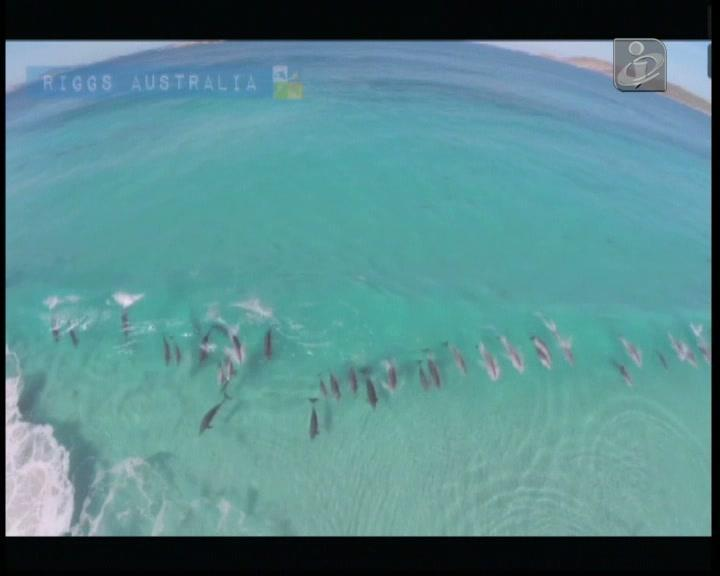 Vinte golfinhos filmados a «surfar» na Austrália