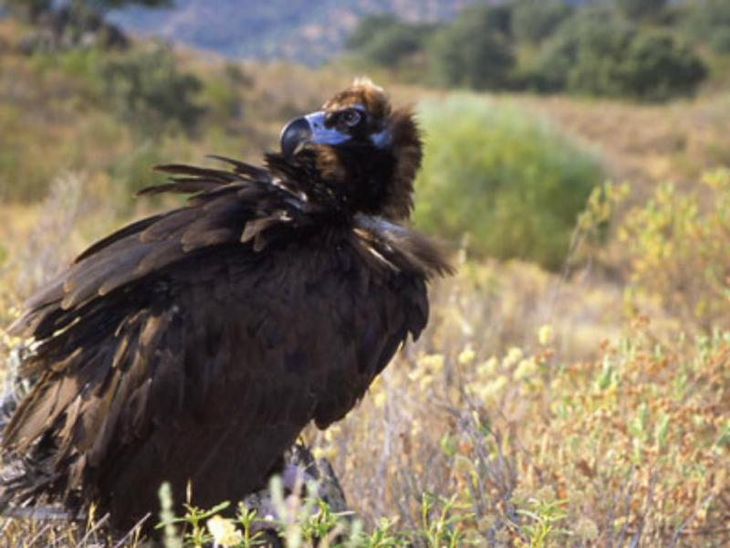Abutre negro (Foto: Quercus/Samuel Infante)