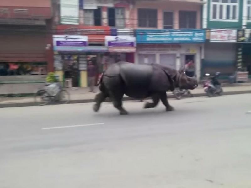 Rinoceronte à solta no Nepal