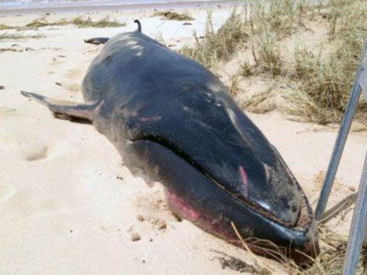 Baleia de Omura deu à costa no oeste australiano (Twitter)