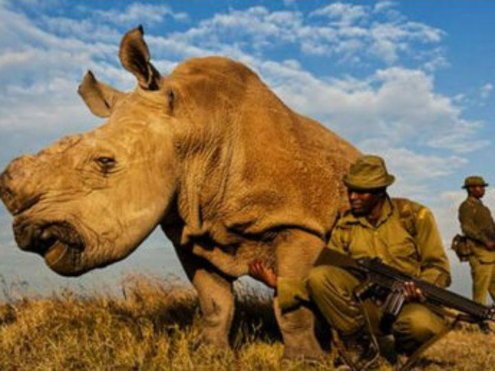 O último rinoceronte-branco do mundo [Foto: Twitter]