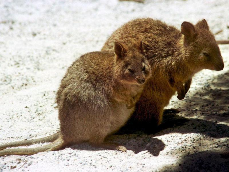 Quokka, marsupial australiano