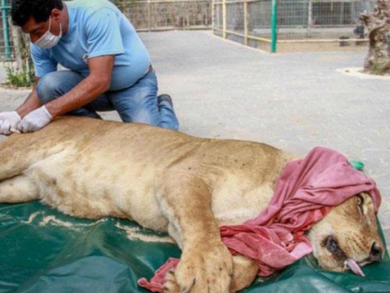 Médico veterinário Amir Khalil trata leoa debilitada no zoo Khan Younis (Reprodução)