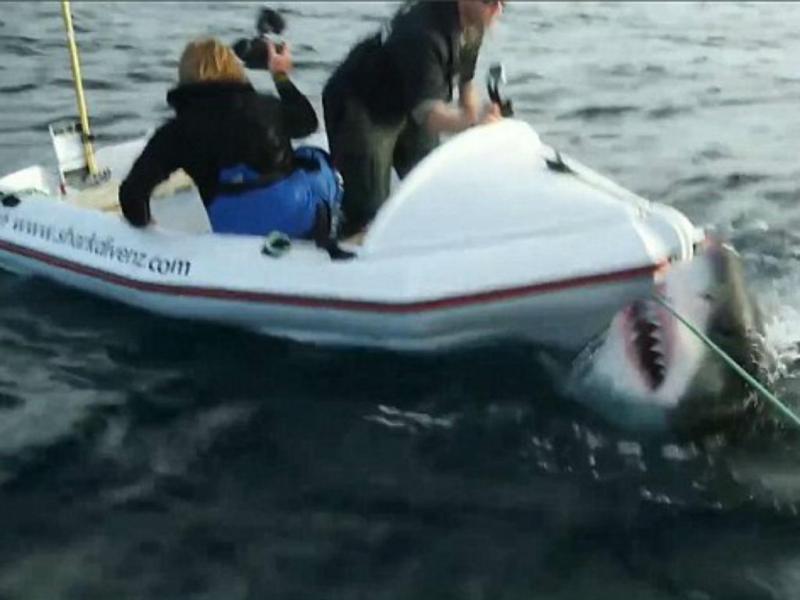 Tubarão branco ataca bote na Nova Zelândia (Reprodução YouTube)
