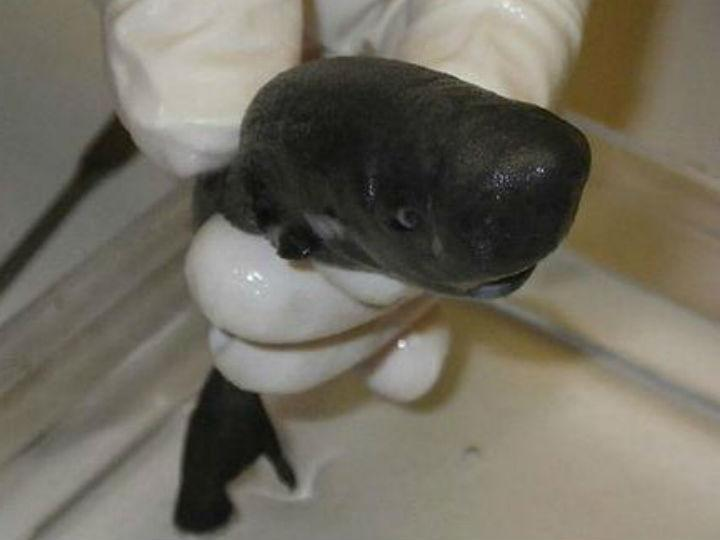 Segundo «tubarão de bolso» encontrado na costa do Lousiana [Foto:Twitter]