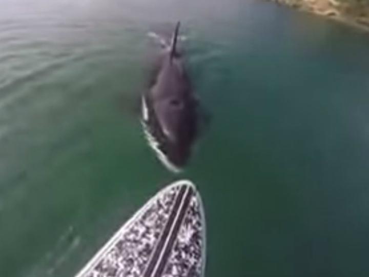 Orca nada a 10 centímetros de praticante de Paddleboarding [Foto:Youtube]