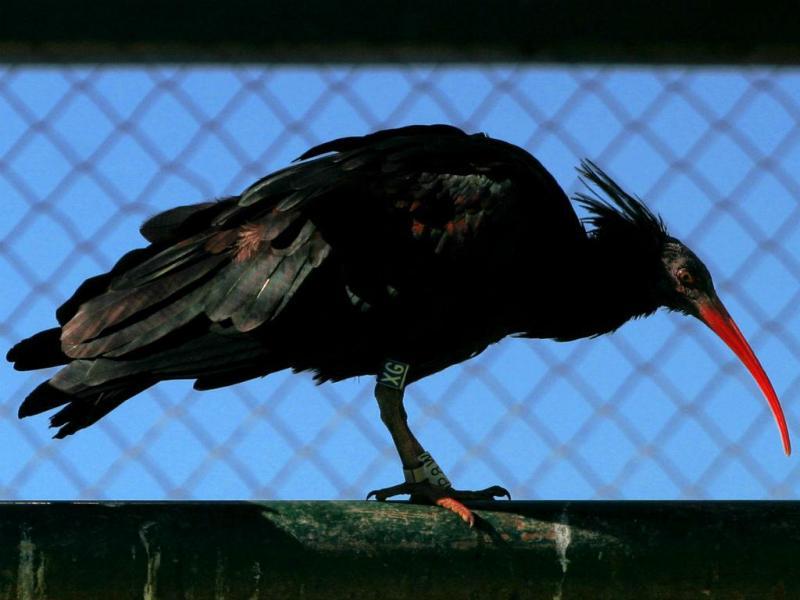 Ibis (REUTERS)