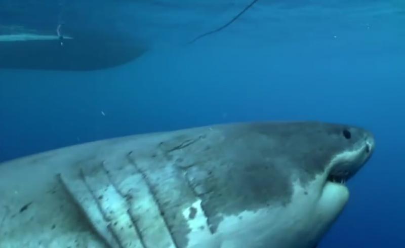 Tubarão-branco (Reprodução/Youtube/Discovery)