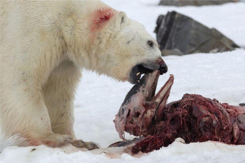 Urso polar observado a comer golfinho