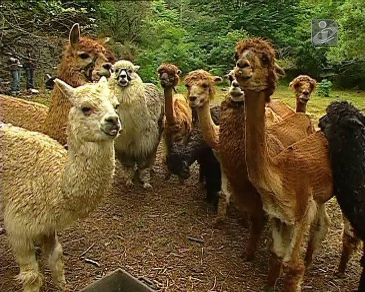 Alpacas em arganil