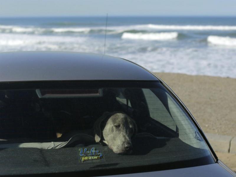 O verão é uma altura de grande risco para os animais deixados dentro de automóveis