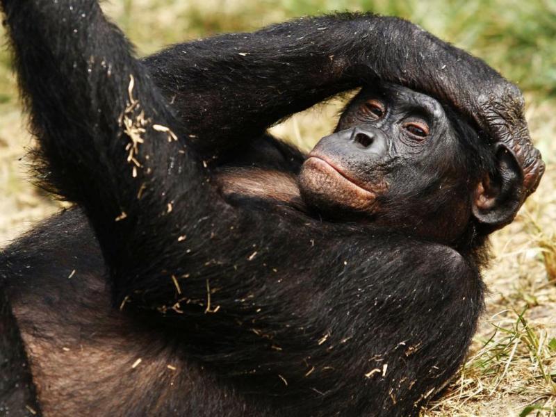 Chimpanzé (Reuters)