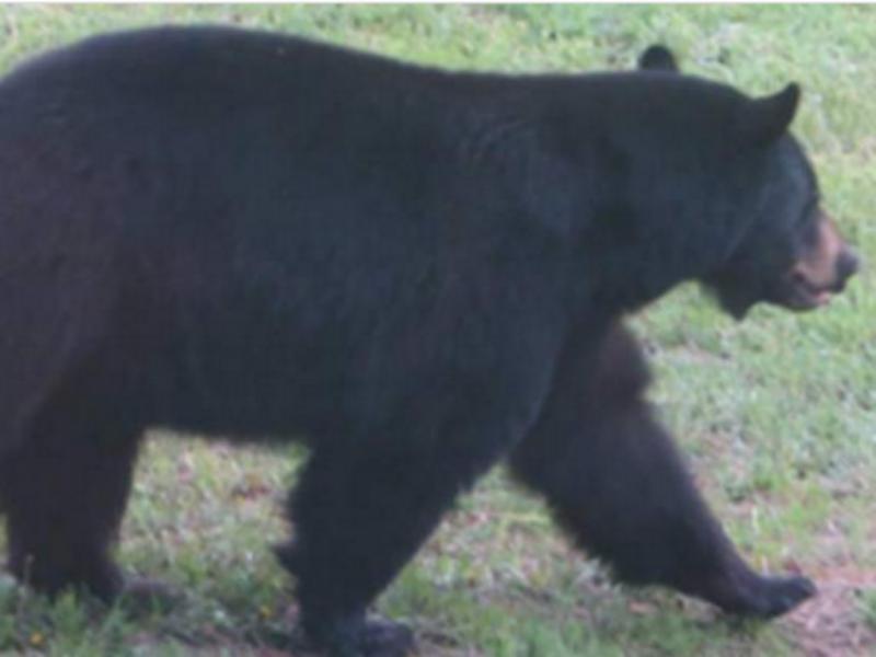 Urso invade padaria no Colorado e devora 38 tartes (Fotos publicadas pela Sky News)