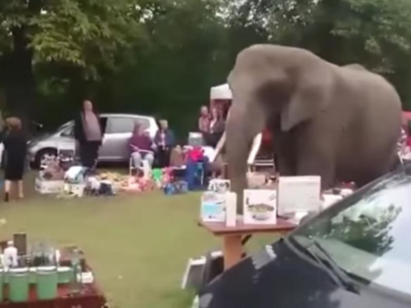 Elefante invade feira na Holanda