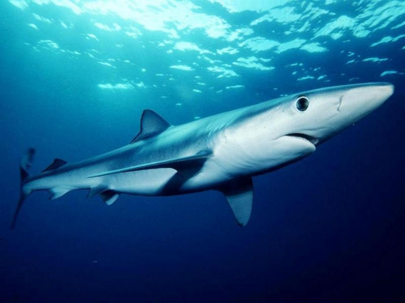 Tubarão-azul [Foto: Agência Oceânica e Atmosférica dos EUA]
