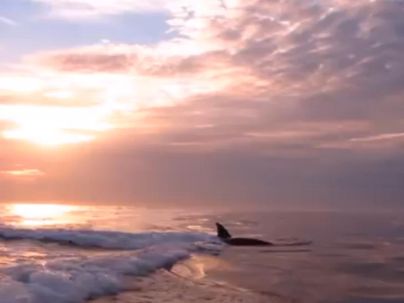 Orcas seguem barco na Califórnia