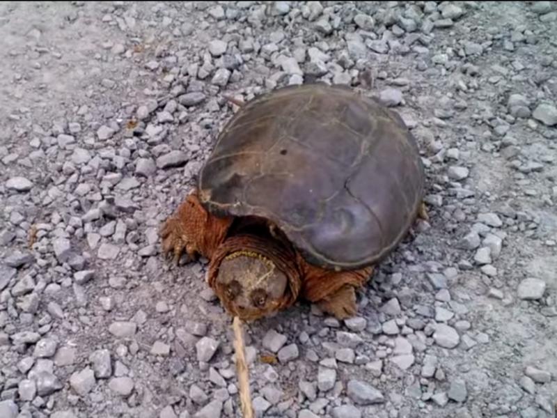 Conheça a verdadeira tartaruga ninja