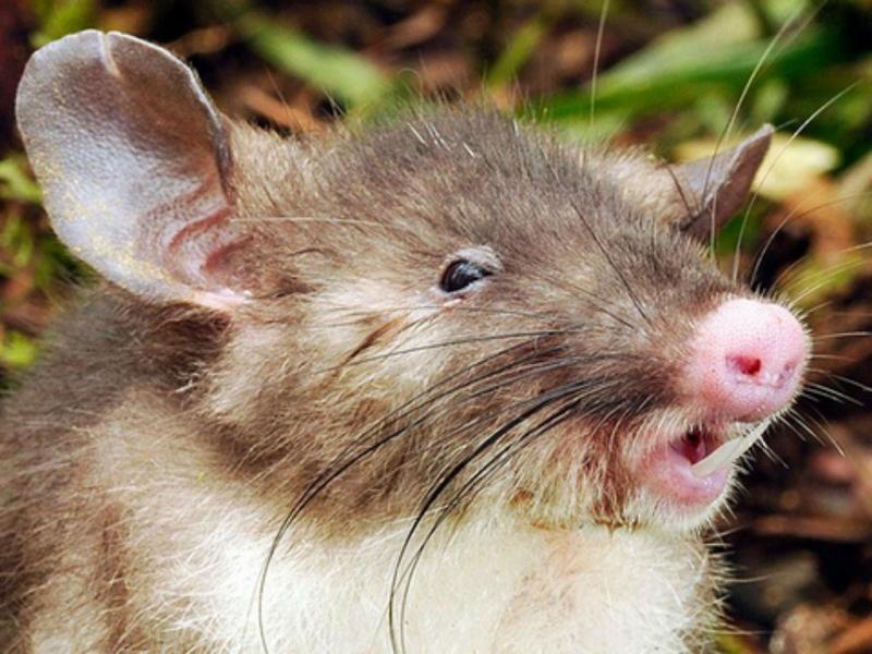 Rato do nariz achatado descoberto na Indonésia (Reprodução Museum Victoria)