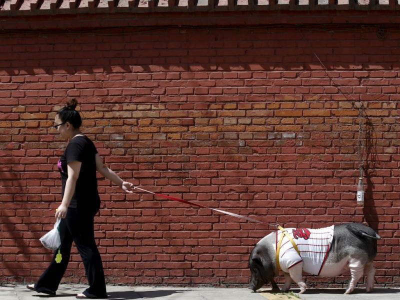 Mulher passeia o seu porco