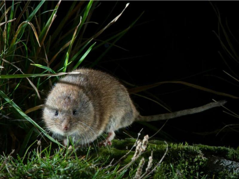 Rato-das-neves (Imagem cedida por Gonçalo Rosa)