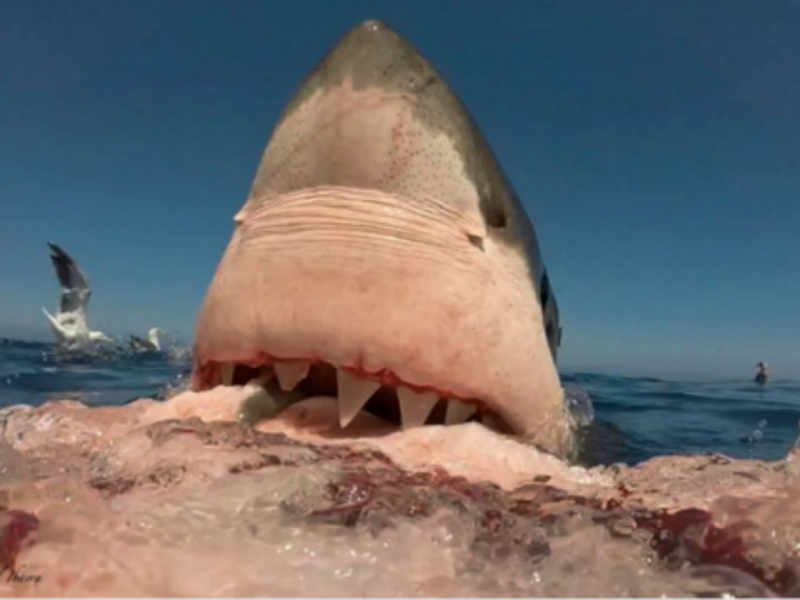 Tubarão (Foto Twitter)