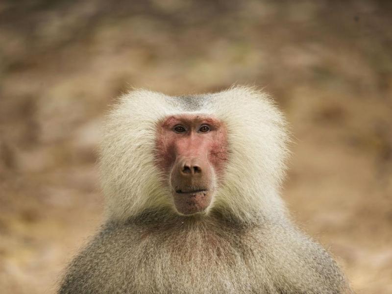 Um babuíno masculino (Papio Hamadryas) é visto perto de Tel Aviv, em Israel (REUTERS / Baz Ratner)