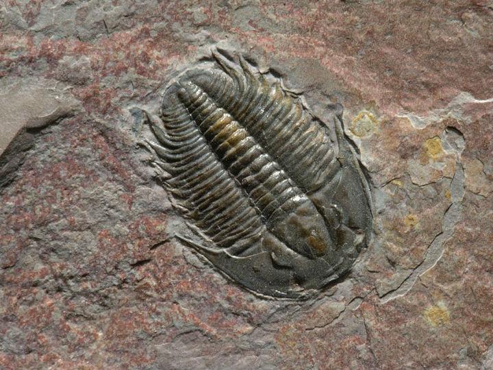Fóssil trilobite