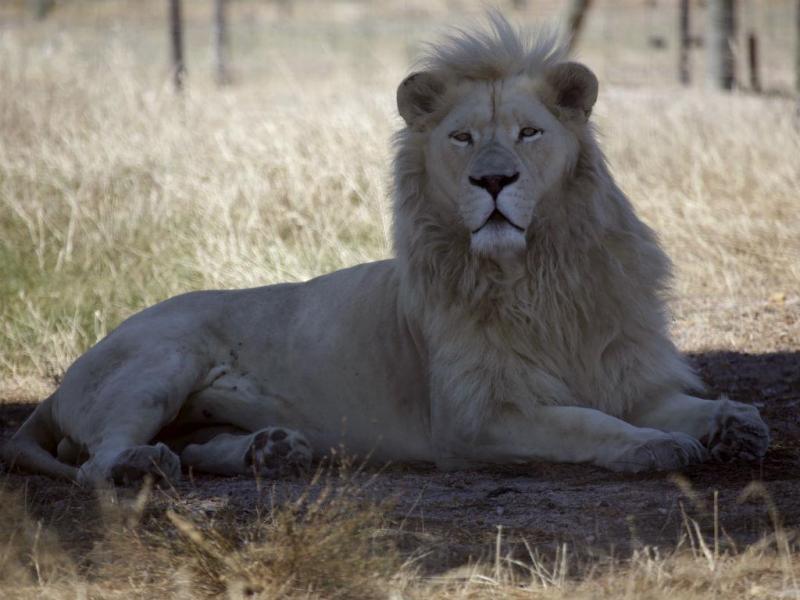 Brutus, o leão que foi após ter sido submetido a uma vasectomia (Reuters)