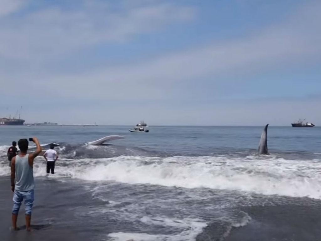 Baleia com 20 metros encalhada em praia no Chile (Reprodução Twitter)
