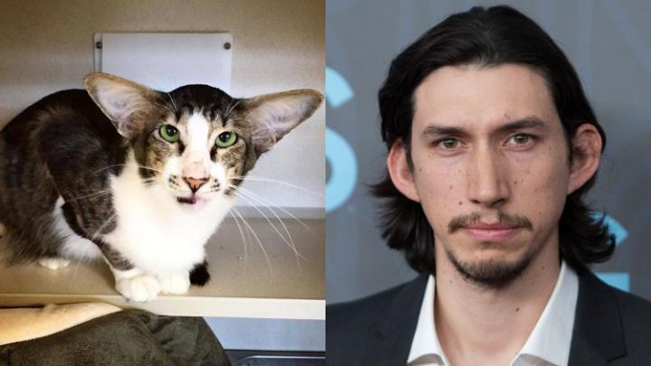 Gato que parece com ator Adam driver, o vilão