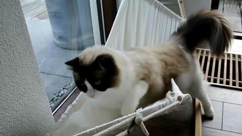 Timo, o gato que se deitar numa rede