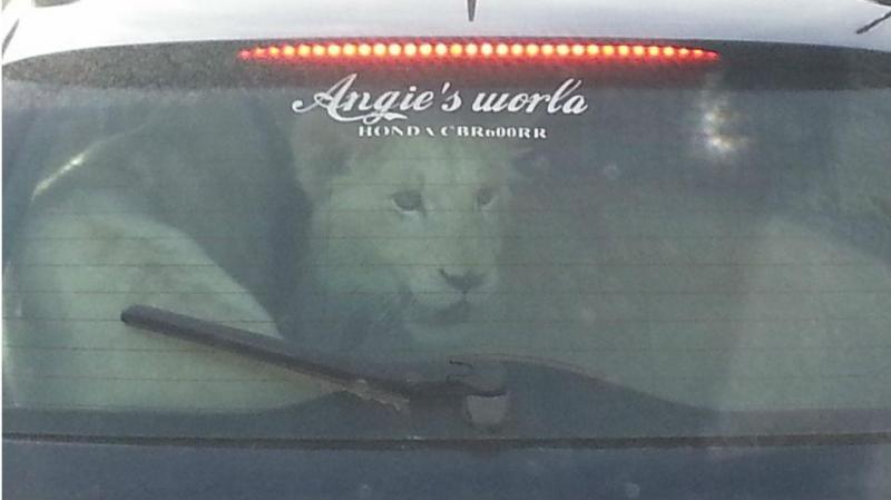 Condutor transporta dois leões na bagageira do carro
